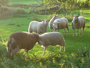 East Friesian sheep - East Friesian sheep