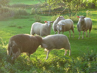 East Friesian sheep Sheep breed from East Frisia in northern Germany