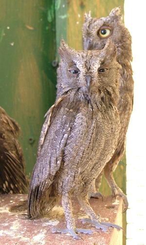 Eurasian scops owl - Grey morph