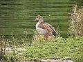 Ouette d'Égypte (Alopochen aegyptiaca) (1).jpg