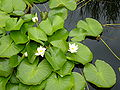 P1000326 Nymphaea alba (White Water Lily) (Nymphaeceae) Leaf.JPG