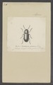 Pachnephorus - Print - Iconographia Zoologica - Special Collections University of Amsterdam - UBAINV0274 036 03 0006.tif