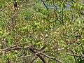 Padali (Marathi- पाडळी) (3512676213).jpg