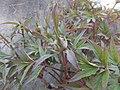 Paeonia suffruticosa Piazzo 04.jpg