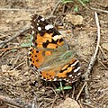 Painted Lady (36855150710).jpg