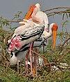 Painted Stork (Mycteria leucocephala) in Uppalapadu, AP W IMG 5064.jpg