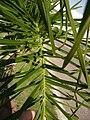 Palmeras en Trenque Lauquen (plantas 03) foto 03.JPG