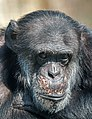 Pan troglodytes - Karlsruhe Zoo.jpg