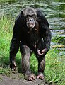 Pan troglodytes - Serengeti-Park Hodenhagen 19.jpg