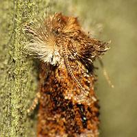 Panama Grass Tubeworm Moth (14673309765).jpg