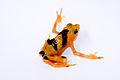 Panamanian Golden Frog lightbox 2.jpg