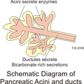 Pancreas secretions2.png