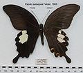 PapilioSataspesUpUn.jpg