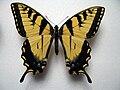 Papilio glaucus male.JPG