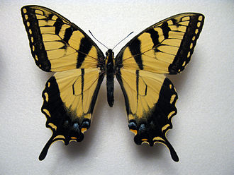 Papilio appalachiensis - P.glaucus