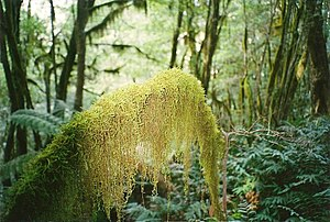Cloud forest - Hanging moss in a cool temperate rainforest at Budawang National Park, Australia