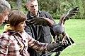 Parabuteo unicinctus -falconry show-8a (6).jpg