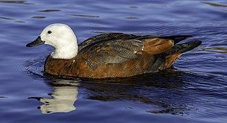 Paradise shelduck, Lake Victoria, Christchurch, New Zealand.jpg