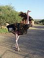 Parc national d'Awash-Ethiopie-Autruche (2).jpg