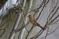 Pardal-comum (Passer domesticus) female (50748961942).jpg