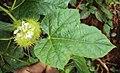 Passiflora foetida 32.JPG