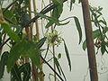 Passiflora xishuangbannaensis2.jpg