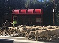 Pastear ovejas.jpg