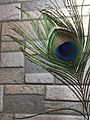 Peacock feather at home.jpg