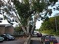Peeling Tree - geograph.org.uk - 1439309.jpg