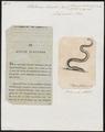 Pelamis bicolor - 1700-1880 - Print - Iconographia Zoologica - Special Collections University of Amsterdam - UBA01 IZ11800193.tif