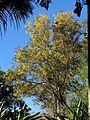 Peltophorum africanum (4092737016).jpg
