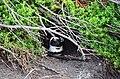 Penguin colony in Hermanus 15.jpg