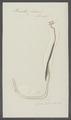 Pennella filosa - - Print - Iconographia Zoologica - Special Collections University of Amsterdam - UBAINV0274 100 03 0033.tif
