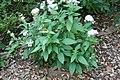 Pentas in Fairchild Tropical Botanic Garden 001.jpg