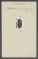 Pericoptus - Print - Iconographia Zoologica - Special Collections University of Amsterdam - UBAINV0274 021 06 02 0002.tif