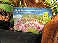 Persicaria amplexicaulis (6167738914).jpg