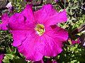 Petunia-bloem-sm.jpg