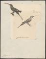 Phaëtornis squalidus - 1700-1880 - Print - Iconographia Zoologica - Special Collections University of Amsterdam - UBA01 IZ19100005.tif