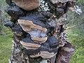 Phellinus lundellii Finland Puolanka.jpg