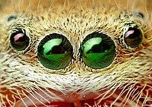 Occhi di ragno saltatore