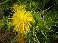 Phonus arborescens 3c.JPG