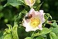 Phyllopertha horticola - img 22076.jpg