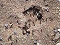 Picacho, AZ, Burrow Entrance, Desert Harvester Ant, Messor pergandei, 2013 - panoramio.jpg