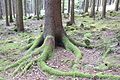 Picea roots with moss 1.jpg