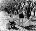 Picking almonds at Hamilton's Vineyard.jpg