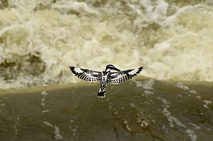 Pied kingfisher (Ceryle rudis) from Kallanai JEG9825.jpg