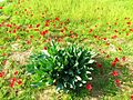 PikiWiki Israel 41509 Plants of Israel.JPG