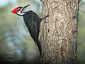 Pileated Woodpecker RWD4.jpg