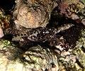 Pilodius granulatus.jpg