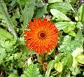 Pilosella aurantiaca 109853155.jpg